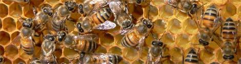 abeilles propolis