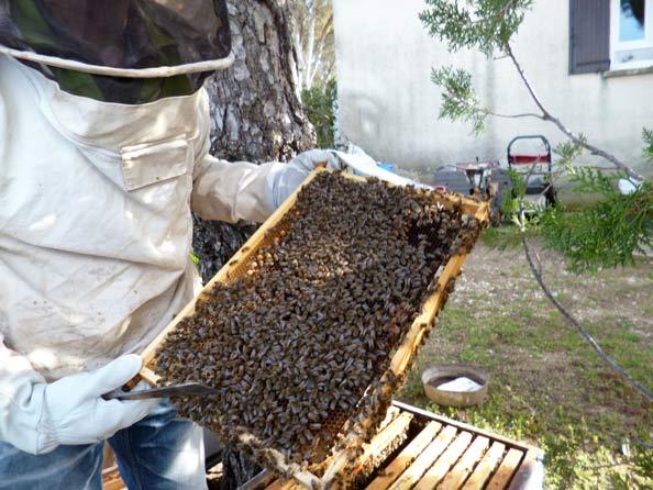 essaim d'abeilles sur cadre