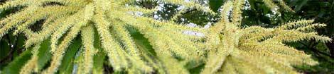 Fleurs de châtaignier