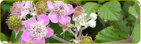 fleurs de mûre ou ronce